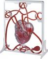 Srdce a krevní oběh